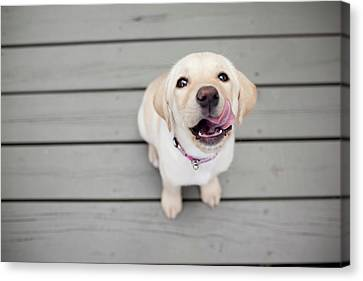 Yellow Lab Puppy Canvas Print by Image by Erin Vey