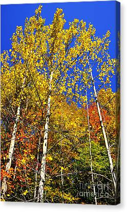 Yellow Leaves Blue Sky Canvas Print by Thomas R Fletcher