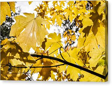 Yellow Leaves Canvas Print by Pelo Blanco Photo