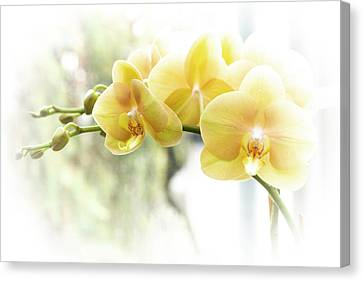 Yellow Moth Orchids In The Sun Canvas Print