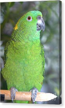 Canvas Print featuring the photograph Yellow-naped Amazon by Debbie Stahre