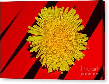Yellow On Red - Dandelion By Kaye Menner Canvas Print