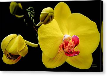 Yellow Orchid And Buds Canvas Print by Julie Palencia