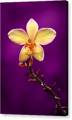 Yellow Orchid Canvas Print by Lori Deiter