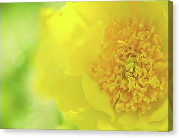 Dappled Light Canvas Print - Yellow Peony by Margaret Goodwin
