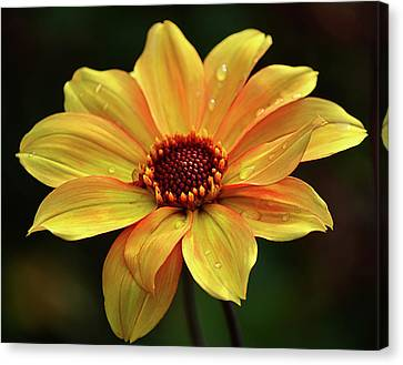 Canvas Print featuring the photograph Yellow Petals And Drops by Julie Palencia