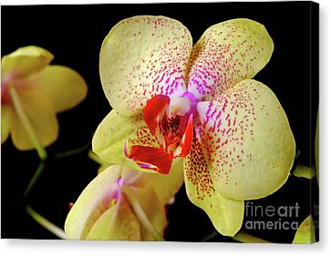 Canvas Print featuring the photograph Yellow Phalaenopsis Orchid by Dariusz Gudowicz