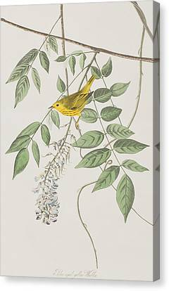 Yellow Poll Warbler Canvas Print