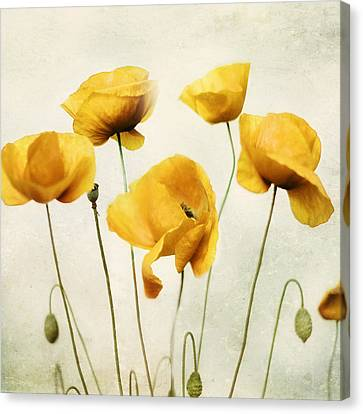 Curtain Wall Canvas Print - Yellow Poppies - Square Version by Amy Tyler