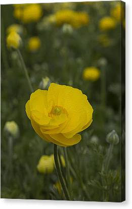 Yellow Ranunculus Flowers Canvas Print