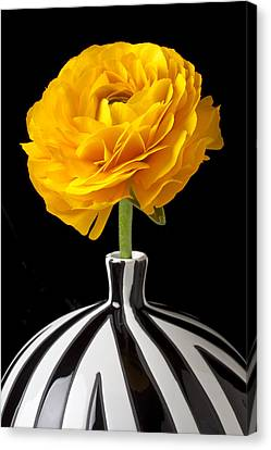 Yellow Ranunculus In Striped Vase Canvas Print by Garry Gay