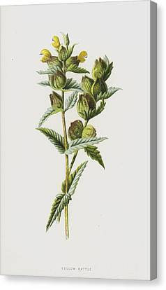 Cockscomb Canvas Print - Yellow Rattle by Frederick Edward Hulme