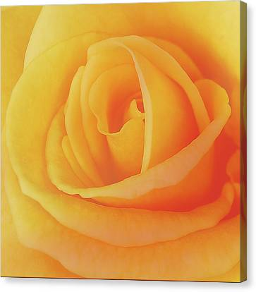 Yellow Rose 4788 Canvas Print by Michael Peychich