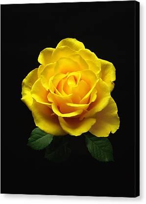 Yellow Rose 6 Canvas Print
