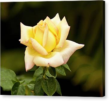 Canvas Print featuring the photograph Yellow Rose by Bill Barber