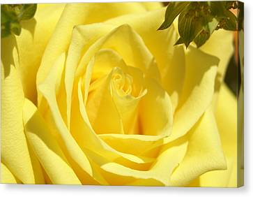 Yellow Rose Canvas Print by Heidi Poulin