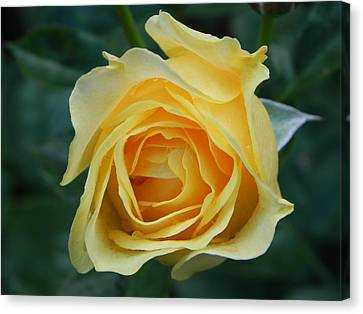 Yellow Rose Canvas Print by John Parry