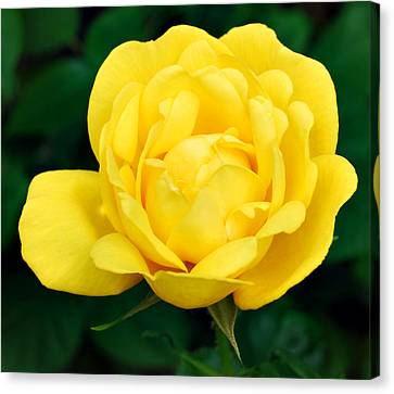 Canvas Print featuring the photograph Yellow Rose by Marilynne Bull