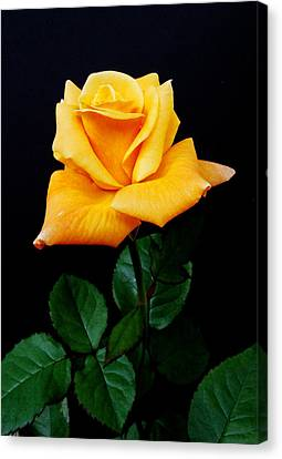 Yellow Rose Canvas Print by Michael Peychich