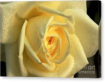 Canvas Print featuring the photograph Yellow Rose by Nicola Fiscarelli