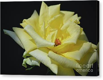 Yellow Rose Of Texas 2 Canvas Print by Ruth Housley