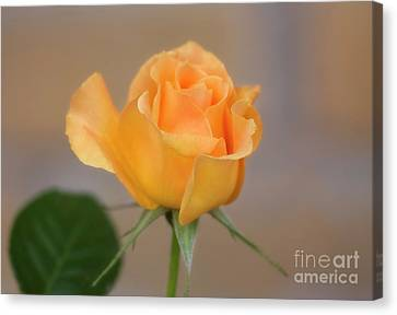 Yellow Rose Of Texas Canvas Print by Joan Bertucci