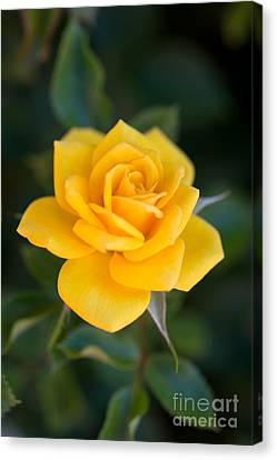Canvas Print featuring the photograph Yellow Rose Of Texas by Michael Moriarty