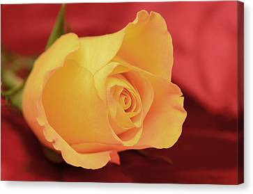 Yellow Rose On Red Canvas Print