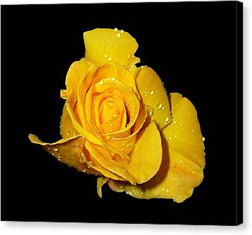 Yellow Rose With Dew Drops Canvas Print by Patricia Barmatz