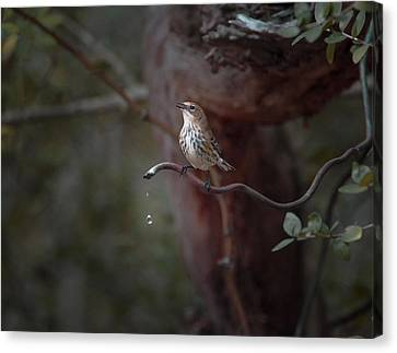 Yellow-rumped Warbler At Water Spout Canvas Print