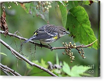 Southern Indiana Autumn Canvas Print - Yellow Rumped Warbler - Evening Dinner  by Scott D Van Osdol