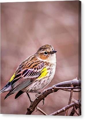 South Carolina State Bird Canvas Print - Yellow Rumped Warbler by Joe Granita