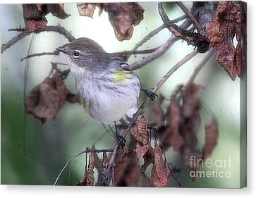 Southern Indiana Autumn Canvas Print - Yellow Rumped Warbler Perched On A Branch by Scott D Van Osdol