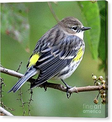 Southern Indiana Autumn Canvas Print - Yellow Rumped Warbler by Scott D Van Osdol