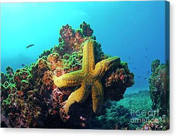 Yellow Sea Star On A Rock Underwater View Canvas Print by Sami Sarkis