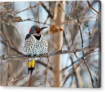 Yellow-shafted Northern Flicker Staying Warm Canvas Print
