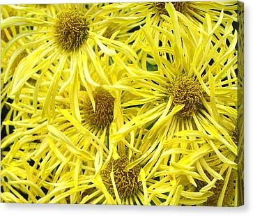 Yellow Spider Mums Canvas Print by Richard Singleton