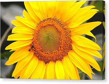 Yellow Sunflower With Bee Canvas Print by Amy Fose