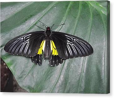 Golden Birdwing Canvas Print