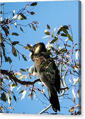 Yellow-tailed Black Cockatoo Canvas Print by Steven Ralser