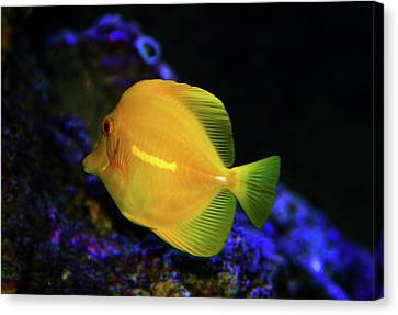 Canvas Print featuring the photograph Yellow Tang by Anthony Jones