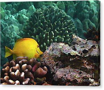 Yellow Tang On The Reef Canvas Print