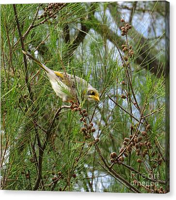 Yellow Throated Miner 2 Canvas Print by Evie Hanlon