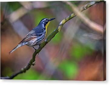 Yellow-throated Warbler Canvas Print by Rick Berk