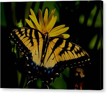 Yellow Tiger Swallowtail Butterflly Canvas Print by Martin Morehead