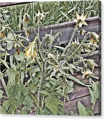 Yellow Tomato Flowers Canvas Print