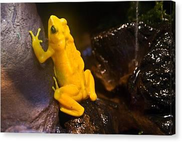 Yellow Tropical Frog Canvas Print by Douglas Barnett
