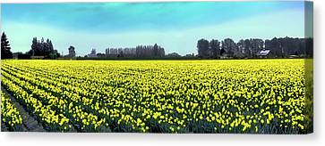 Yellow Tulip Fields Canvas Print by David Patterson