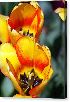 Yellow Tulip Canvas Print by Marty Koch