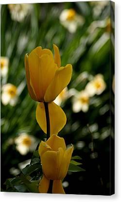 Yellow Tulips And Dafadills Canvas Print by Martin Morehead